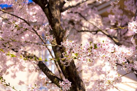 2015年4月桜撮影12