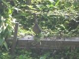 山鳩をパチリ