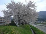2011.5.8稲中桜
