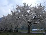 2011.5.8稲中桜背景国見山