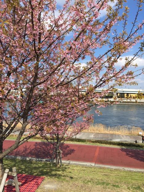 汐入公園の桜 20160321 3