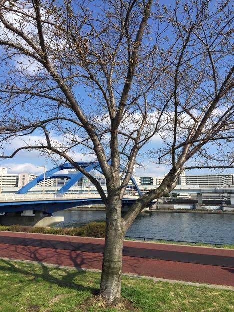 汐入公園の桜 20160321 5