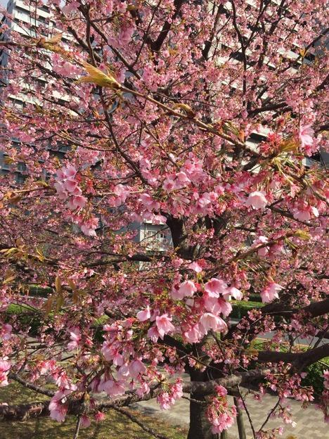 汐入公園の桜 20160321 1