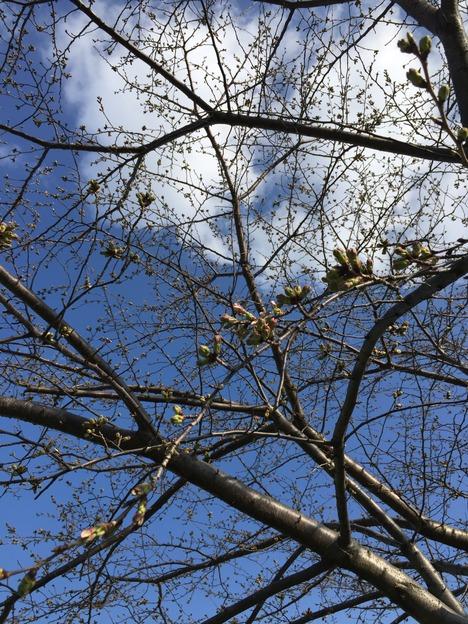 汐入公園の桜 20160321 8