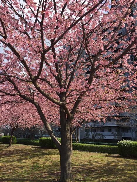 汐入公園の桜 20160321 2