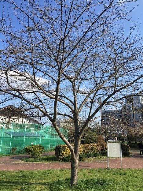 汐入公園の桜 20160321 7