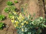 キャベツの花1