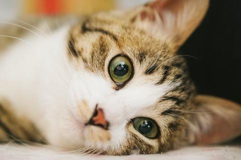 【衝撃事実】猫がニャーと鳴く理由がコチラwww