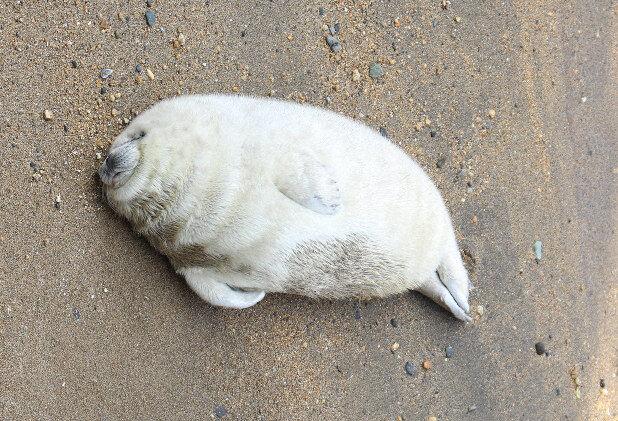 【画像】アザラシの赤ちゃん、食べて寝て成長中