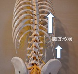 腰方形筋による右腸骨の前方回旋