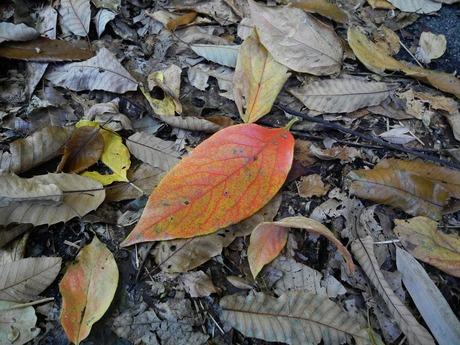 柿の木の葉 171112