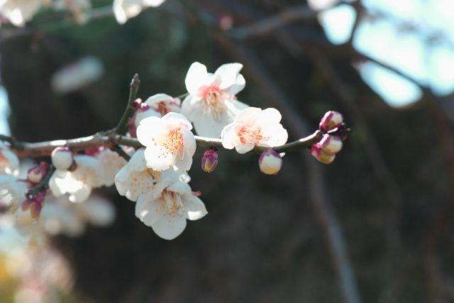 0228_梅の花