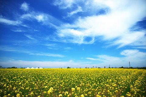 0319_菜の花畑