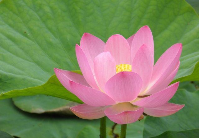 0217_蓮の花