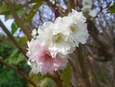 桜の返り咲き