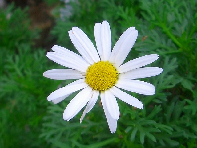 マーガレット (植物)の画像 p1_34