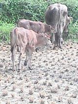 家の前に牛がいる