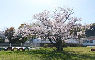 校庭の桜0401d
