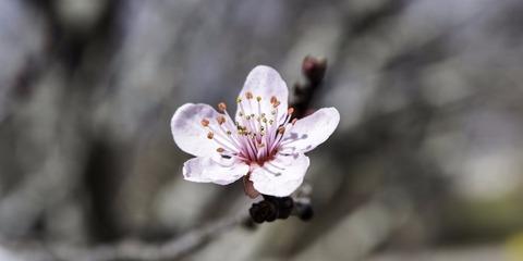 SakuraPetals