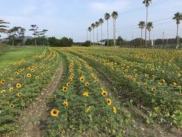 菜の花ガーデン7月24日③