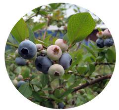 畑のブルーベリー