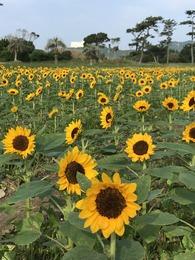 菜の花ガーデン7月24日④
