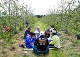 りんご摘果4