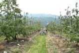 りんご摘果8