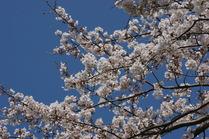 11年桜 046