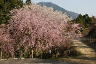 2011垂れ桜 587