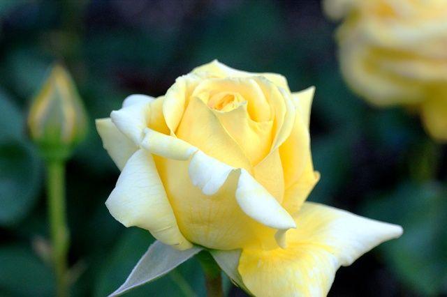 五月のバラ 285