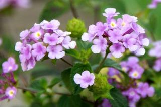 紫の花9216