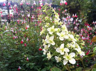 ハーブと白い花