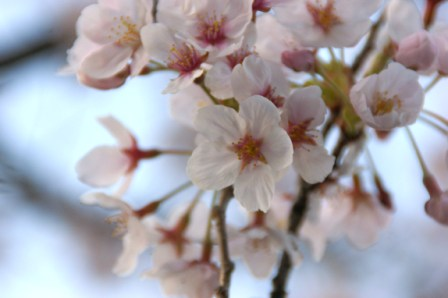 桜の花ウェブ 141