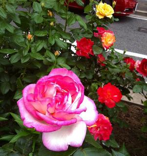 バラの花 アイホーン