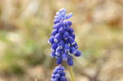 ムスカデの花-w024
