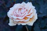 オレンジ系の薔薇