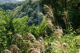 高取山のススキ