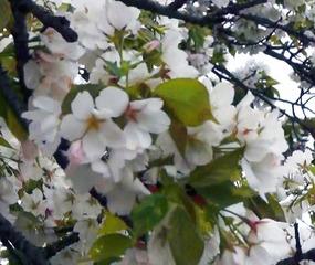 石舞台の桜t(410)