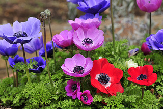 anemone NO12