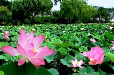 蓮の花 嵐山