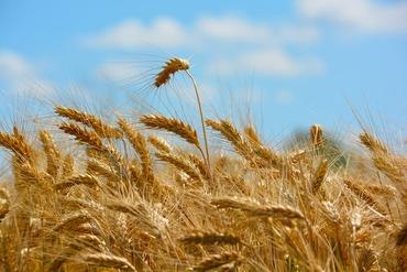 wheat-173366_960_720