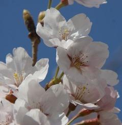 11桜 052
