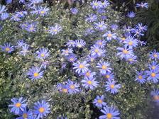 紫の花 018