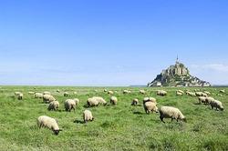 サンモンミッシェルの羊