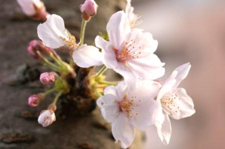 ウェブ桜春の花 151
