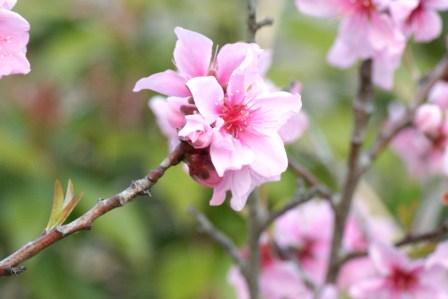 赤い桜ウエーブ 179