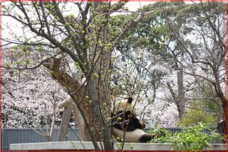 パンダと桜