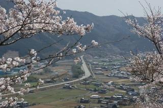 播但道と桜087