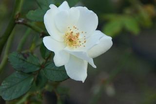 白の薔薇208